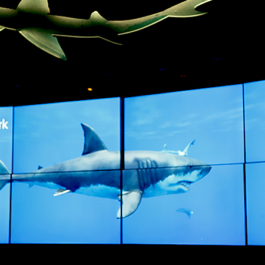 Ocean Wonders: Sharks! at the New York Aquarium - Media Wall featuring a Great White